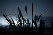 Cornstalks Prints - Wheat stalks on a dune at moonlight Print by Nick  Biemans