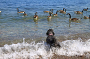 Canada Goose Photos - When dog meets geese by Charline Xia