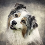 Australian Shepherd Posters - When youre smiling... Poster by Wolf Shadow  Photography