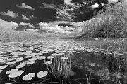 Lily Pad Prints - Where Angels Walk Print by Debra and Dave Vanderlaan