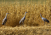 Sandhill Cranes Prints - Where is the Corn Print by Mike  Dawson