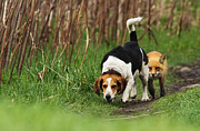 Beagle Photos - Where is the Fox  by Mircea Costina Photography