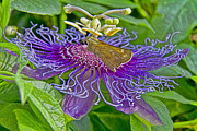 Passionflowers Prints - Where Is the Nectar in This Thing Print by Gary Holmes