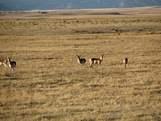 Cres Archuleta - Where the Antelope Roam