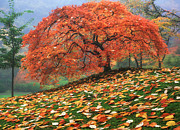 Autumn Prints Prints - Where the Red Tree Grows Print by Aaron Reed