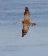 Whimbrel In Flight Print by Ruth Jolly