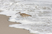 Bob and Jan Shriner - Whimbrel Wading