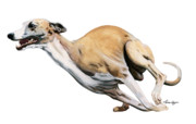 Whippet Framed Prints - Whippet in the Wind Framed Print by Liane Weyers