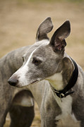 Sight Hound Framed Prints - Whippet Framed Print by Linsey Williams