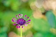 India Blue photos - Whirligig Daisy