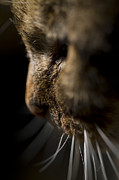Cats Photo Prints - Whiskers Print by Angel  Tarantella