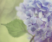 Purple Hydrangeas Framed Prints - Whisper Framed Print by Amy Tyler