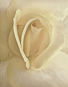 White Florals Framed Prints - Whisper of Cream Rose Flower Framed Print by Jennie Marie Schell