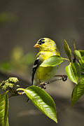 Canary Yellow Prints - Whispering Olive Songbird Print by Christina Rollo