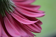 Whispering Petals Print by Melanie Moraga