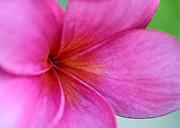 Sabrina L Ryan - Whispering Pink Plumeria