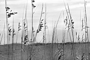 Oat Photos - Whispering Sea Oats BW by Betsy A Cutler East Coast Barrier Islands