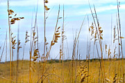 Gold Color Posters - Whispering Sea Oats  Poster by Betsy A Cutler East Coast Barrier Islands