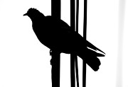 Bird On A Wire Prints - Whistles Two Warn Print by Jerry Cordeiro