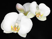Laurent Lucuix - Whit Orchid on Black...