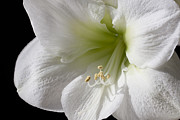 Stamen Photo Framed Prints - White Amaryllis Framed Print by Adam Romanowicz
