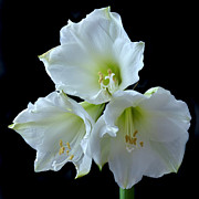 Amaryllis Photos - White Amaryllis by Terence Davis