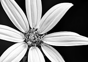 Macro Art Prints - White and Black Flower Close Up Print by Sabrina L Ryan