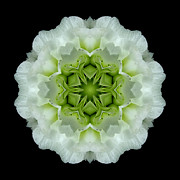 David J Bookbinder - White and Green Begonia...