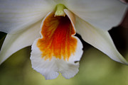 Spring Florals Posters - White and Orange Orchid Poster by David Patterson