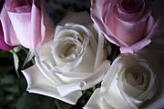 Jennifer Lyon - White and pink roses
