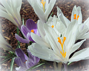Heidi Manly - White And Purple Crocuses