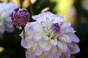 Joanna Williams - White and Purple Dahlia