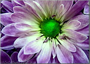 White And Purple Daisy Print by Danielle  Parent