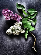 Marianna Mills Metal Prints - White and Purple Lilacs Metal Print by Marianna Mills