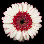 Color  Colorful Prints - White and Red Gerbera Daisy Print by Adam Romanowicz