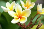 Charmian Vistaunet - White and Yellow Plumeria Flowers