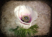 Digitally Altered Floral Posters - White Anemone Poster by Barbara Orenya