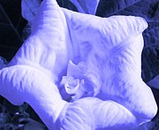 Blue Trumpet Flower Photos - White Angel by Belinda Lee