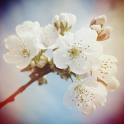 Food And Beverage Art - White apple blossom in spring by Matthias Hauser