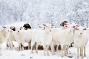 Sheep Farm Prints - White as Snow Print by Thomas R Fletcher