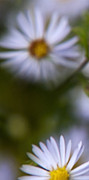 Aster  Digital Art - White Aster Triptych Panel 1 by Christina Rollo