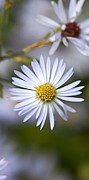 Aster Prints - White Aster Triptych Panel 2 Print by Christina Rollo