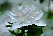 Paul Mashburn Art - White Azalea by Paul Mashburn