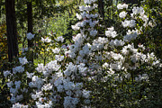 Garry Gay - White Azaleas