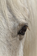 Forelock Photo Posters - White Beauty D1412 Poster by Wes and Dotty Weber
