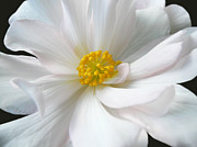 White Flower Photos - White Begonia Floral by Jennie Marie Schell