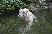 JPLDesigns - White Bengal Tiger...