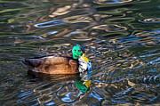 Kate Brown - White-bibbed Mallard