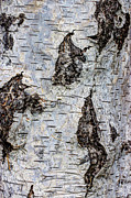 Beauty Mark Photo Prints - White Birch Abstract  Print by Heidi Smith
