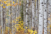 Prince Albert National Park Photos - White Birch in Fall by Gerald Murray Photography
